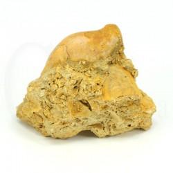 terebratula fosil
