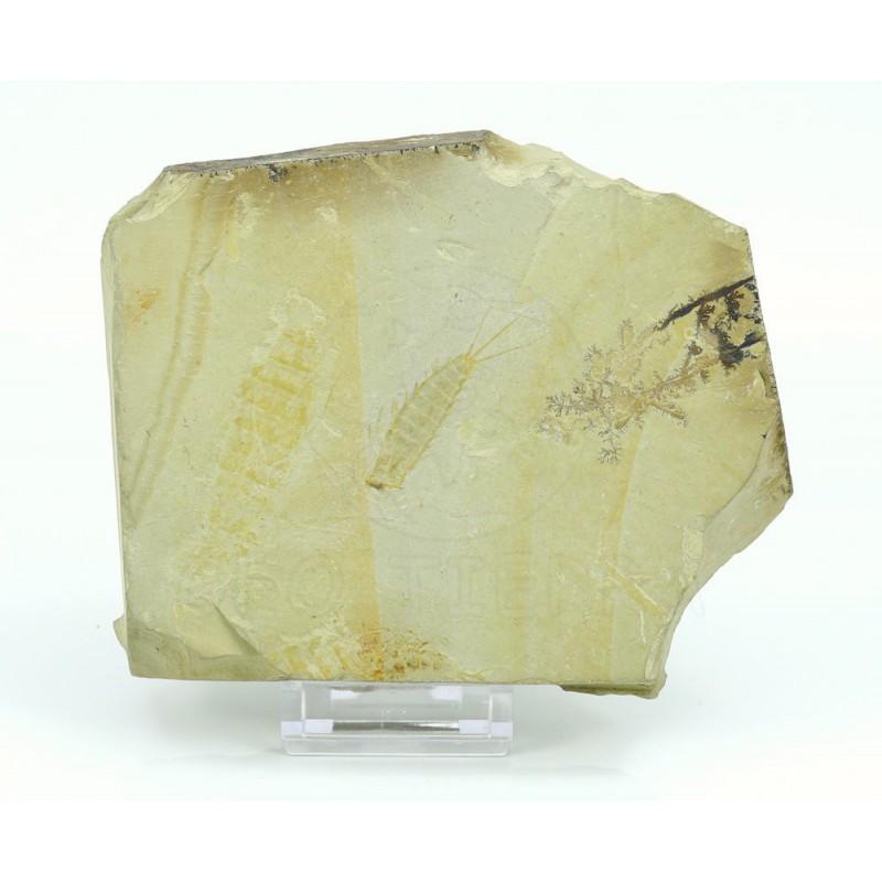efímera fosil en caliza