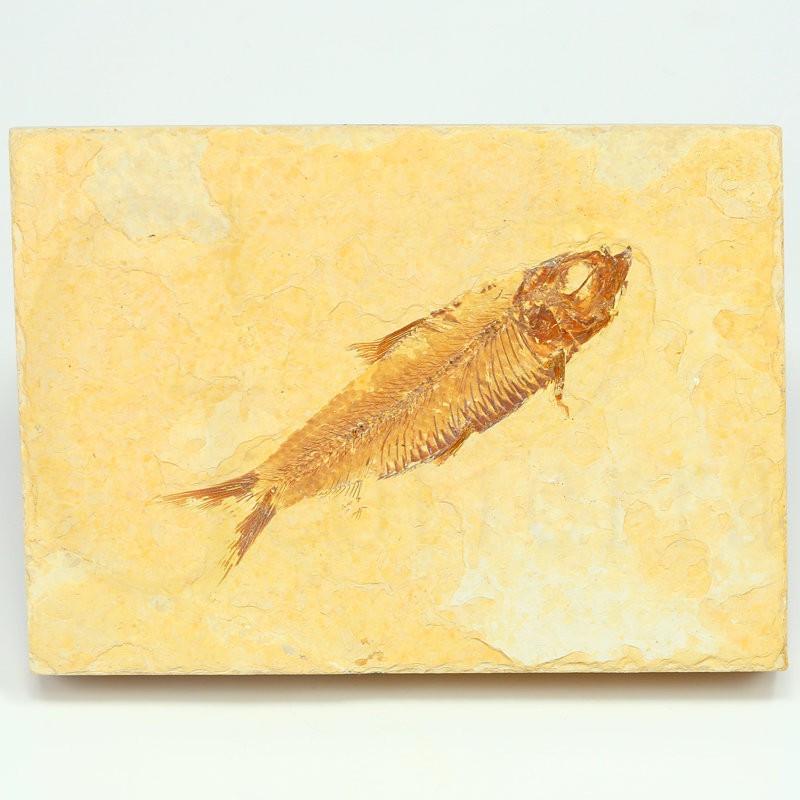 pez fosil wyoming