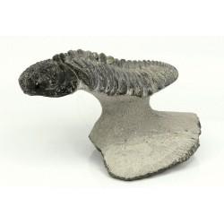 trilobites phacops vista 1