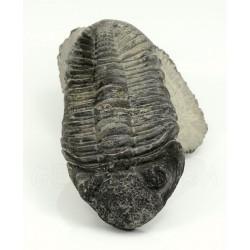 trilobites phacops vista 3