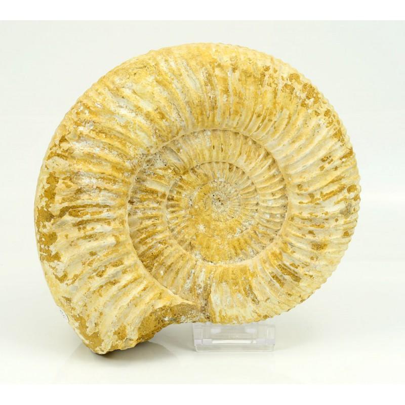 ammonites de madagascar vista 1