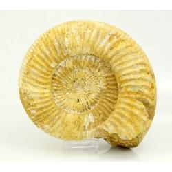 ammonites de madagascar vista 2