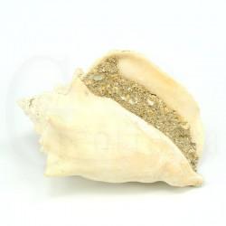 strombus latus fosil