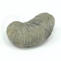gryphaea arcuata fosil