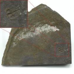 ogyginus corndensis fosil