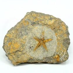 estrella de mar fosil