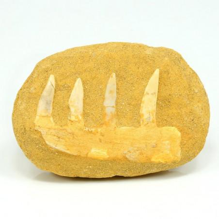 dientes fosil de enchodus