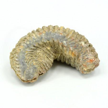 alectryonia