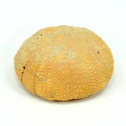 erizo schizechinus fosil