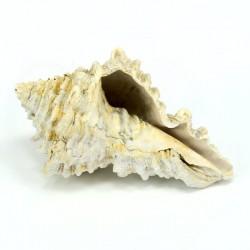 Vasum horridum fosil