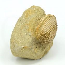 venus lamellosa fosil
