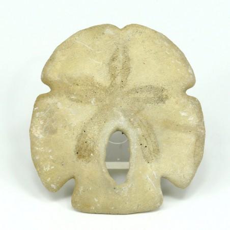erizo encope tamiamiensis fosil