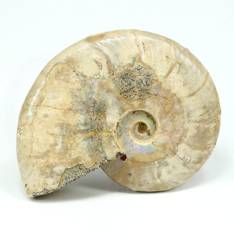 amonites fosil madagascar