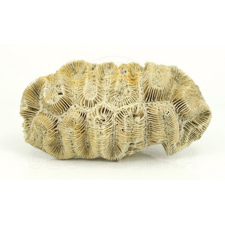 coral fosil vista superior