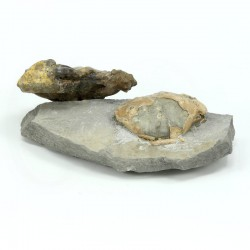 cangrejo fosil