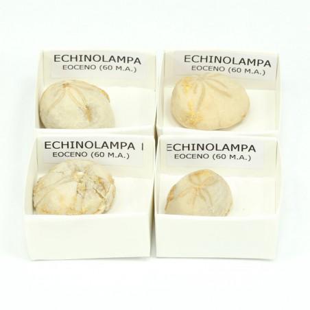 fosil echinolampa