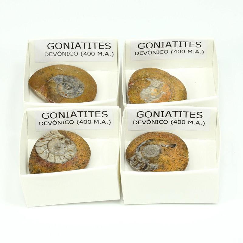 fosil goniatites
