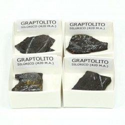 fosil graptolito