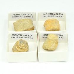 fosil montilvaltia