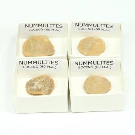fosil nummulites