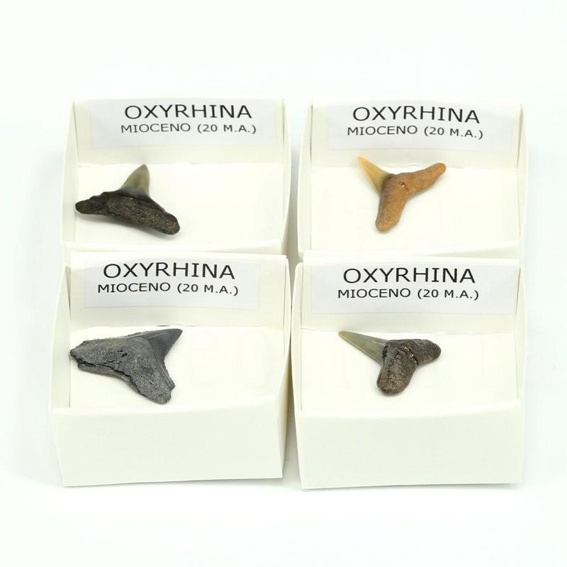 fosil oxyrhina