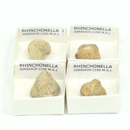 fosil rhinchonella