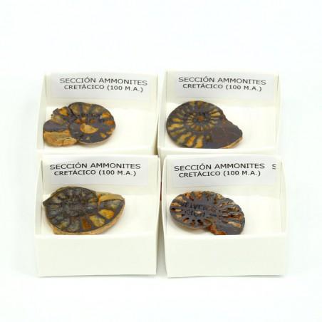 fosil sección ammonites