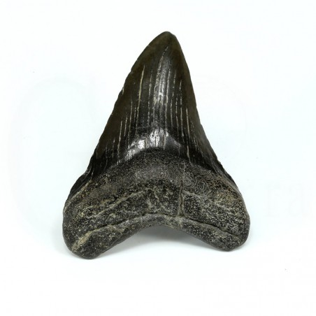diente megalodon
