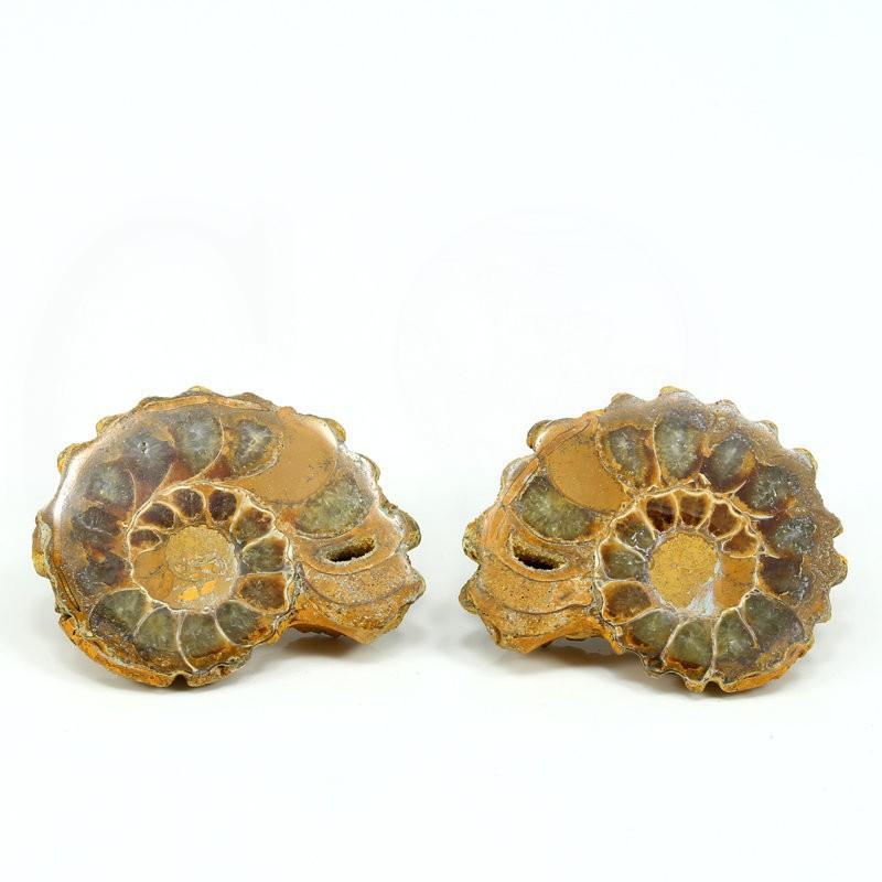 ammonites seccion