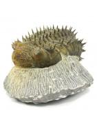 Comprar Online Fósiles Trilobites | Geotierra.es